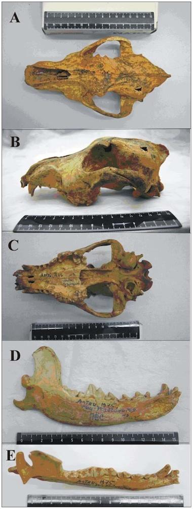 Dogs Domesticated 33,000 Years Ago, Skull Suggests