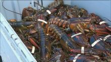 Federal government rejects lobster quota for commercial inshore fleet