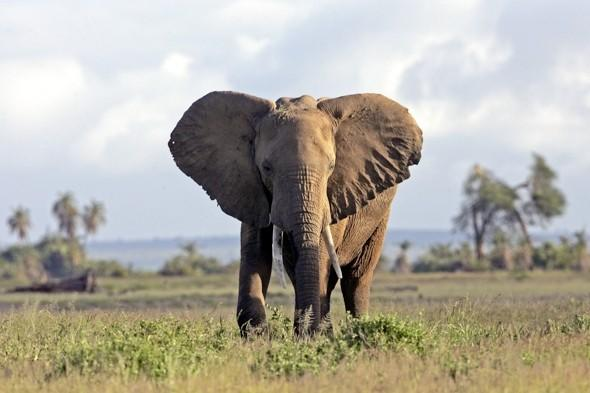 <p> Weighing in at up to eight tons, although beautiful creatures, elephants can be lethal. African elephants in particular can be aggressive, especially older bulls and young males. These creatures, unsurprisingly, are more aggressive in areas where poaching is rife or when their habitat is threatened.<br /> <strong>Kills:</strong> An estimated 300-500 people a year.<br /> <strong>Deadly technique: </strong>Most human deaths are result of the elephant trampling on its victim.<br /> <strong>Lives in: </strong>Africa and India</p>