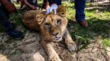 Anger as Palestinian zoo cuts lion's claws so she can 'play' with children