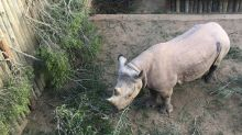 Two endangered black rhinos die months after relocation to Chad