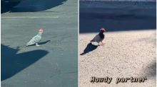 Pigeons Wearing Tiny Cowboy Hats in Las Vegas Have Got Twitter Asking 'Who Did This?'