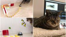【新片速報】日本撳鐘貓新玩具 啟動推骨牌裝置超可愛