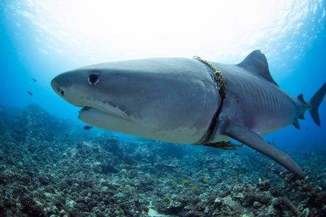 'My stomach dropped': Diver spots tiger shark caught in rope 'noose' that had cut into its body