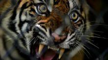 Tierschützer kritisieren Export von Tigern aus Europa nach Asien