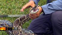 Amateurs invited to hunt pythons