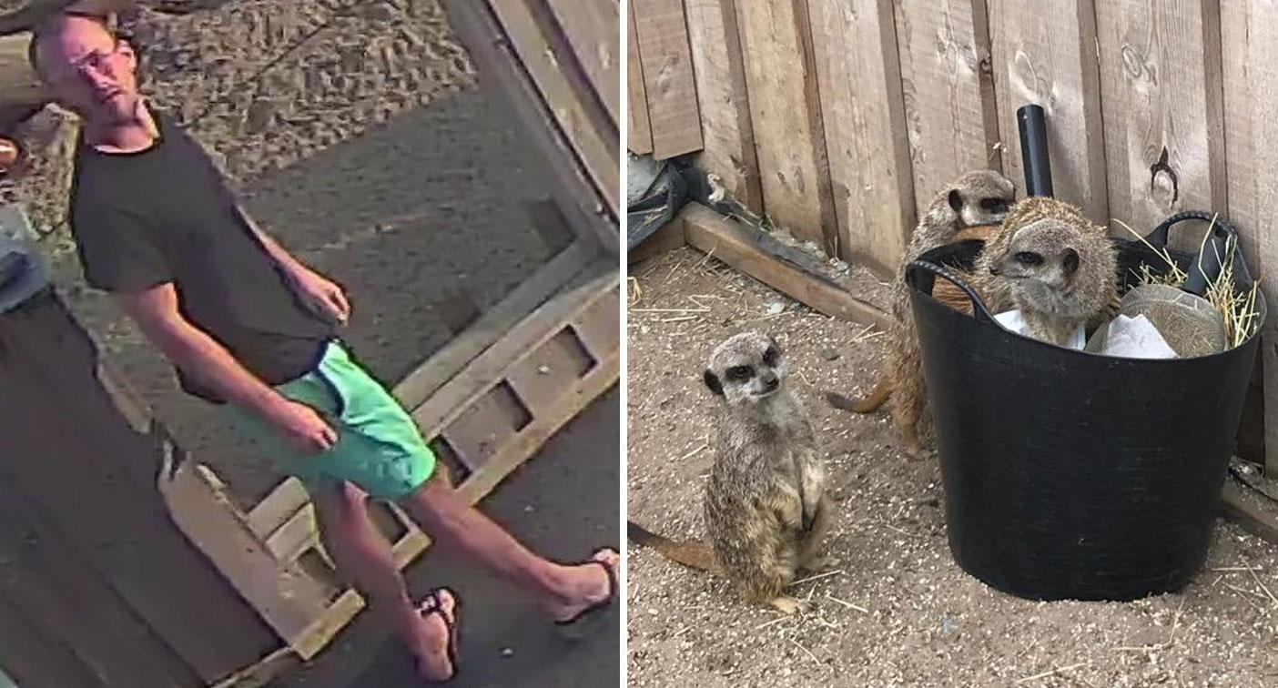 Meerkat bandit being hunted after he released animals from