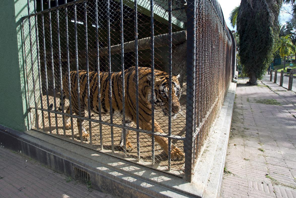 In this Aug. 24, 2013 photo, Hatch, a male tiger, walks in his cage at the city zoo in Montevideo, Uruguay. Hatch has lived in a cage since he was traded to the Villa Dolores Zoo after spending his first three years in a circus. The zoo says it is giving up Hatch, through the Uruguayan organization Animals Without Homes which is in talks with the Wild Animal Sanctuary in Texas and the National Tiger Sanctuary in Missouri. (AP Photo/Matilde Campodonico)