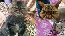 Tosa bizarra em gato persa faz sucesso na internet