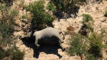 Zimbabwe: mort de douze autres éléphants, une bactérie soupçonnée