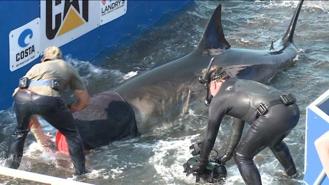 Caught on Tape: Team Catches Great White Shark