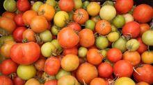 Virus de la tomate: Contamination confirmée dans le Finistère, une serre confinée