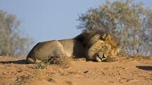 Indignación por la foto de una pareja de cazadores besándose junto al león que acaban de matar