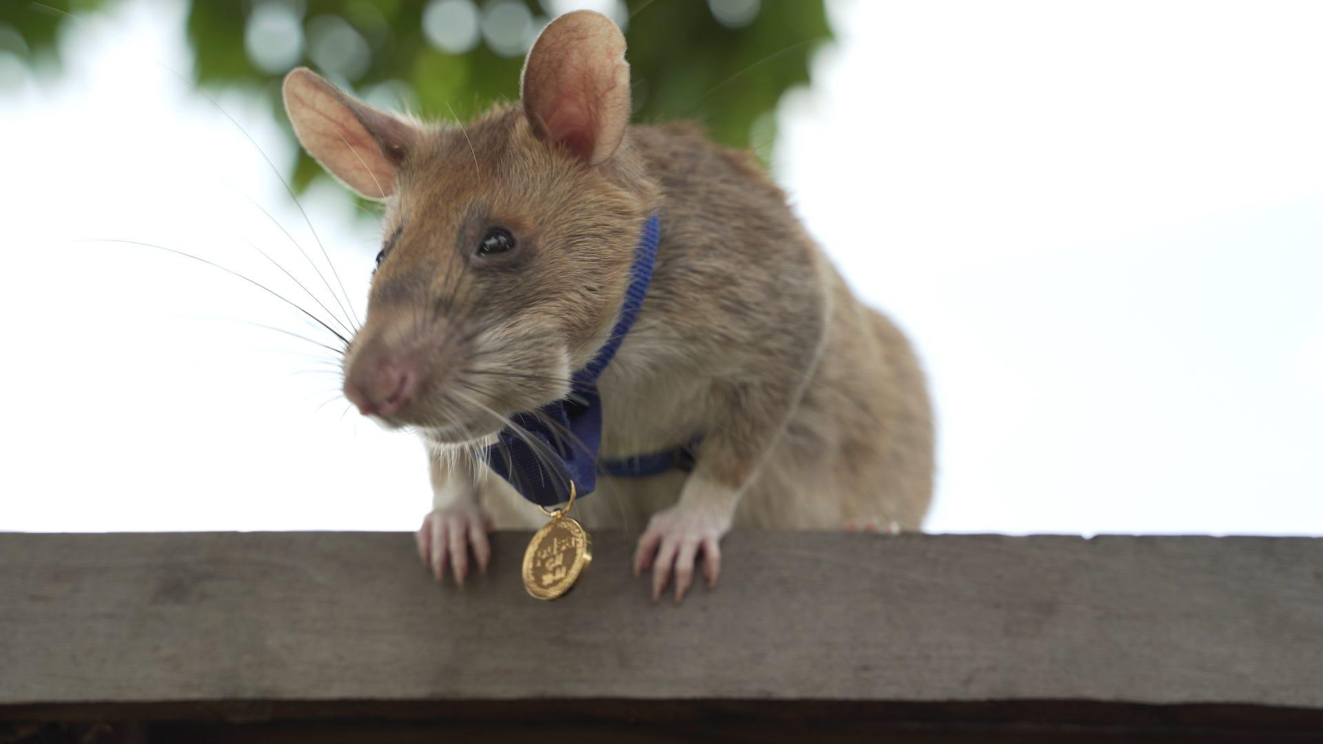 Meet Magawa, the 'hero rat' awarded a bravery medal for detecting dozens of landmines