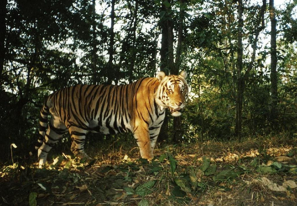 A wild tiger at the Huai Kha Khaeng Wildlife Sanctuary, western Thailand, pictured a camera trap photo released by the Government of Thailand and the Wildlife Conservation Society Thailand on February 18, 2016 (AFP Photo/Wildlife Conservation Society Thailand)
