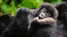 'Rare conservation win': Mountain gorilla population on the rise