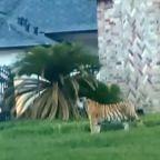 Tiger that was seen roaming Houston neighborhood found