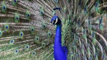 Comcast's Peacock launch can draw some lessons from biology