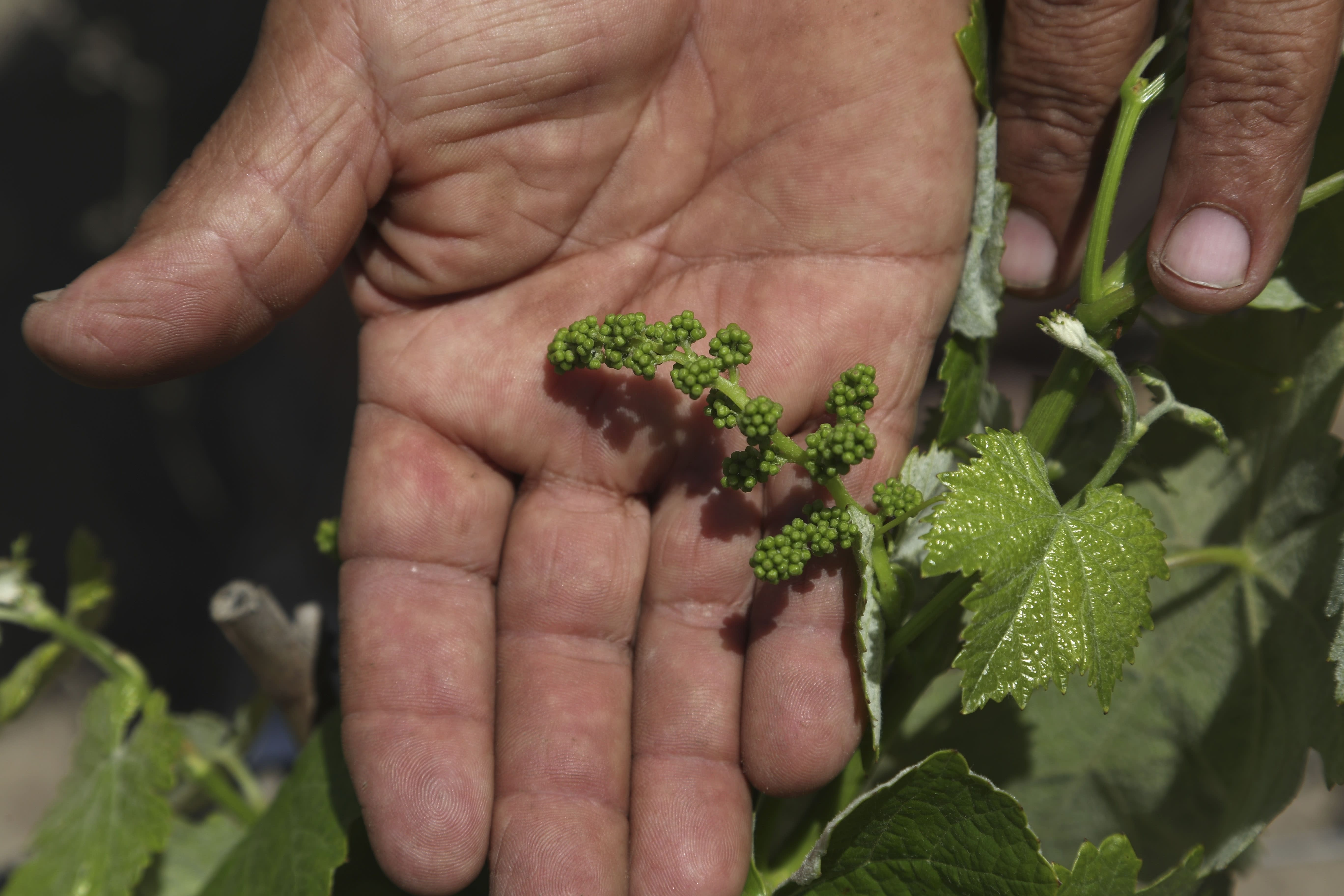 """Farmer Nicanor Tasaico shows newly formed """"quebranta"""" grapes, used to make non-aromatic or """"pure"""" Pisco, at his vineyard in Ica, Peru, Monday, Sept. 28, 2020. More than 500 Pisco producers have seen their sales collapse by half and thousands of grape growers have had their fields ruined because of the late harvests, because of the strict lockdown implemented to stop COVID-19. (AP Photo/Martin Mejia)"""