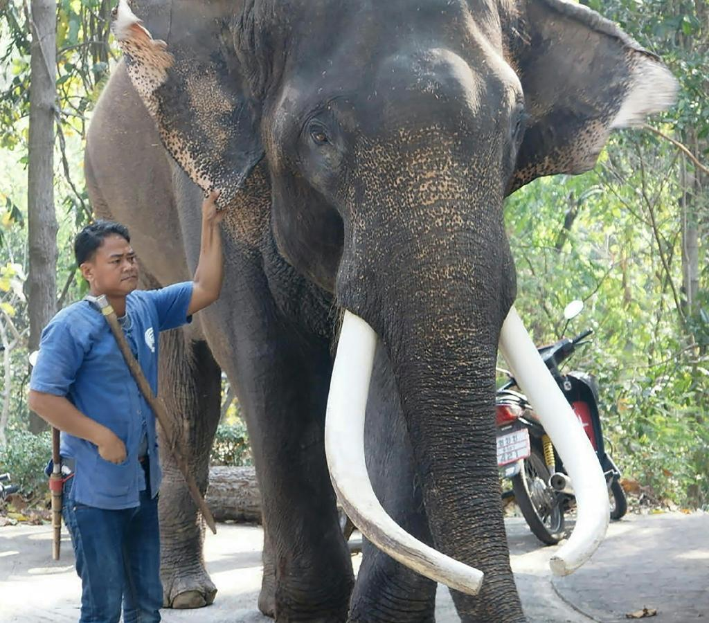 Ekasit the elephant has appeared in Thai and foreign films as well as several television advertisements, according to a Chiang Mai Zoo official