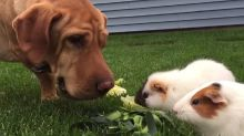 Wilbur the dog adorably looks after these guinea pigs