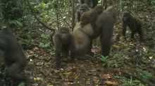 Rare gorillas in Nigeria captured on camera with babies