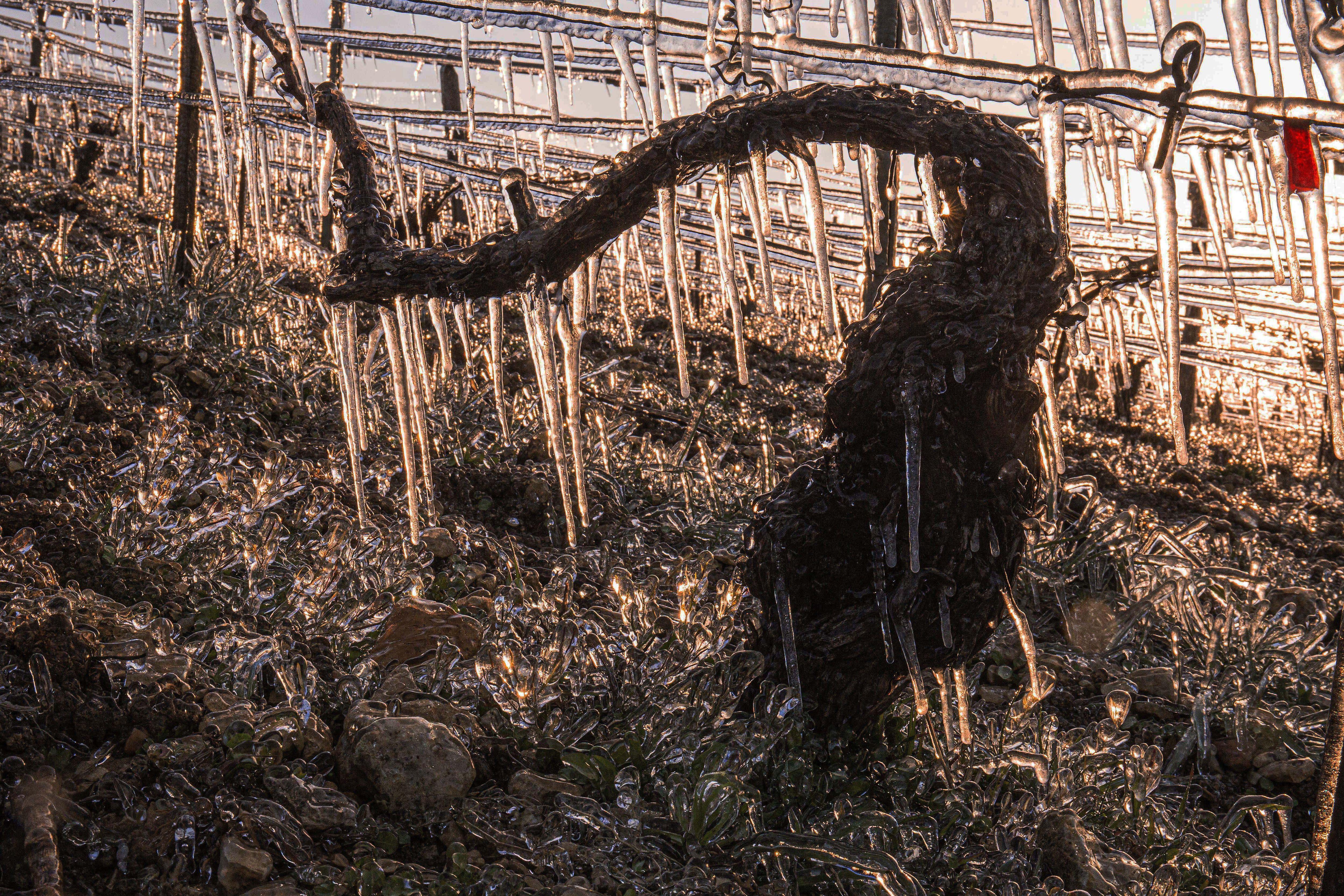 Gel: des parlementaires alertent le Premier ministre sur la situation des vignerons qui vivent «dans l'angoisse» en Occitanie