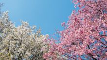 Just 34 Stunning Photos of Cherry Blossoms That'll Make You Bloom With Happiness