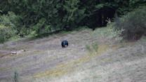 """Bear with mysterious """"blue head"""" spotted off highway"""