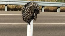 'Horrible death': Outrage as echidna is found impaled on post