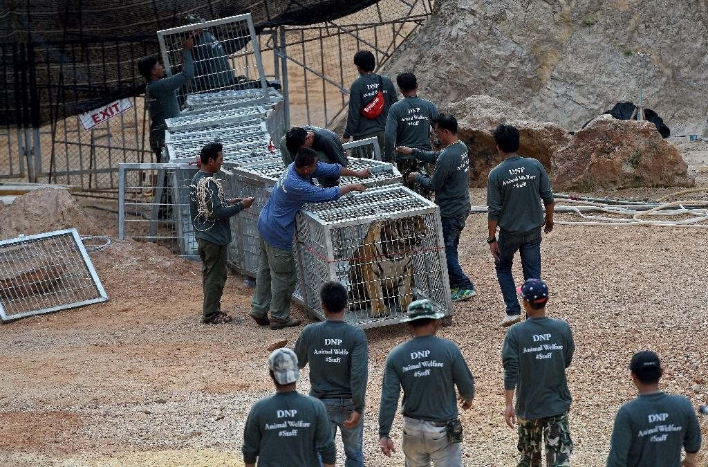 """Thai wildlife officials use a tunnel of cages to capture a tiger at the Wat Pha Luang Ta Bua """"tiger temple"""" in Kanchanaburi province, western Thailand, on May 30, 2016 (AFP Photo/Christophe Archambault)"""