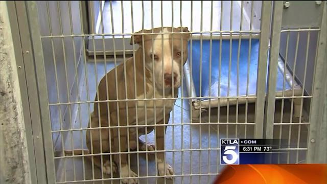Authorities Seize Pit Bulls After Woman Fatally Mauled