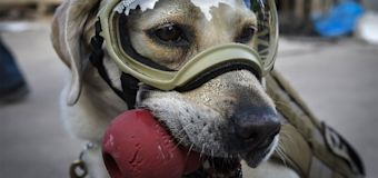 The courageous dog of Mexico's quake rescues