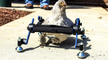 Girl upset that TV show poked fun at her wheelchair-bound pet chicken