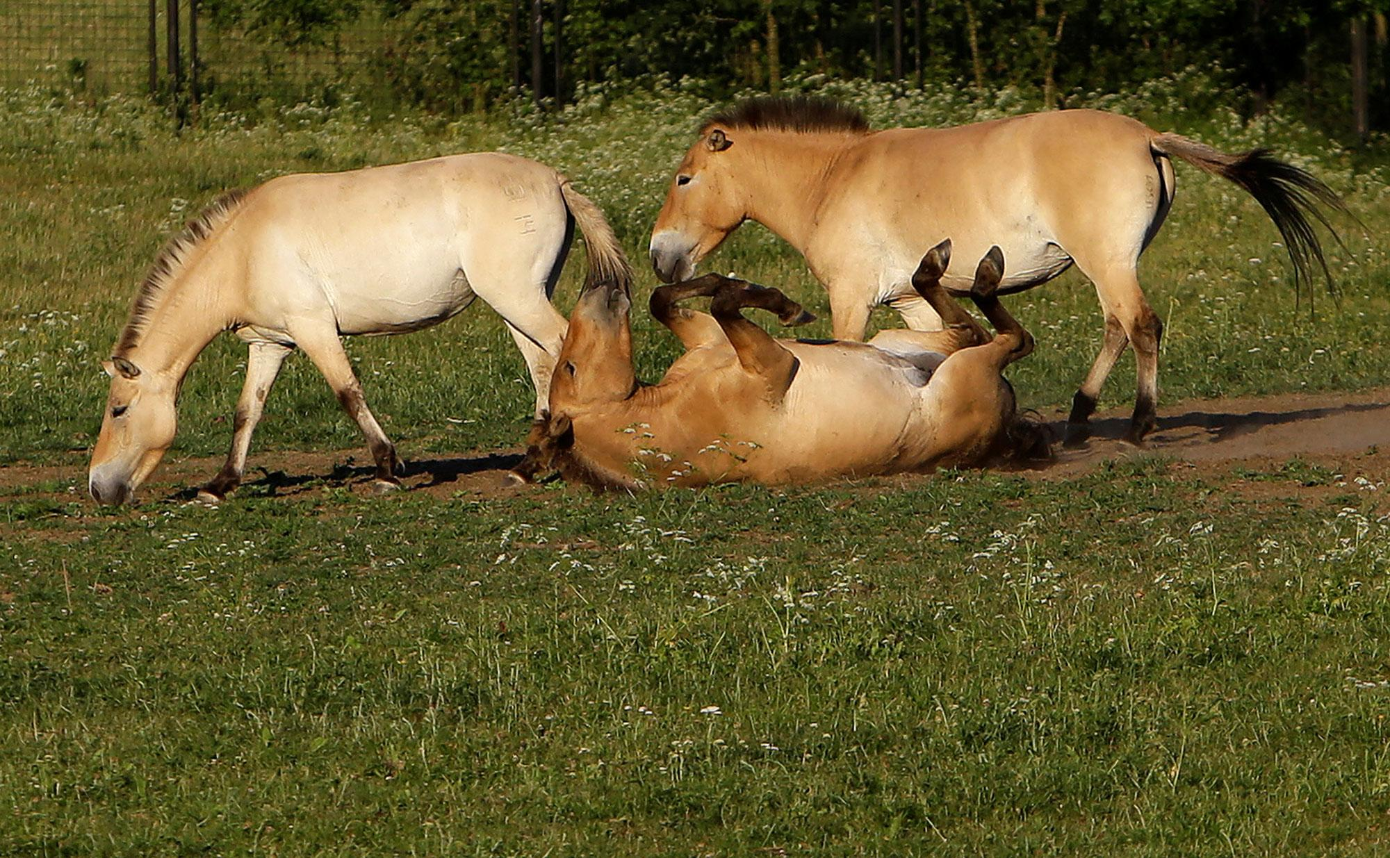 <p>Przewalski's horses graze on a meadow at the acclimatization enclosure in the village of Dolni Dobrejov near the city of Tabor, Czech Republic, June 18, 2017. (Photo: David W. Cerny/Reuters) </p>