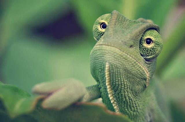 Researchers use video games to test chameleons' vision