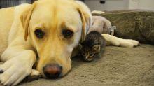 Labrador vira 'pai adotivo' de gatinha recém-nascida