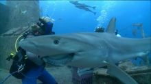 Swimming with sharks: Experience Ginger Zee's shark dive live in virtual reality