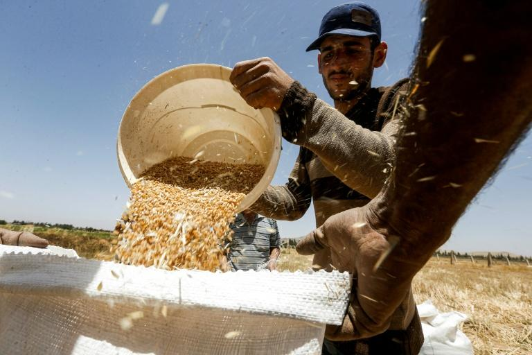 A farmer pours a bucket of wheat kernels into a sack during the harvest season, in a field south of Syria's capital Damascus (AFP Photo/LOUAI BESHARA)