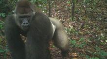 Le gorille le plus rare au monde pris en photo avec ses petits