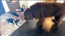 Cavalier puppy shows off his new collar to huge Newfoundland dog