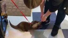 Otter Prevents New Friend Leaving by Clinging to Her Shoelaces