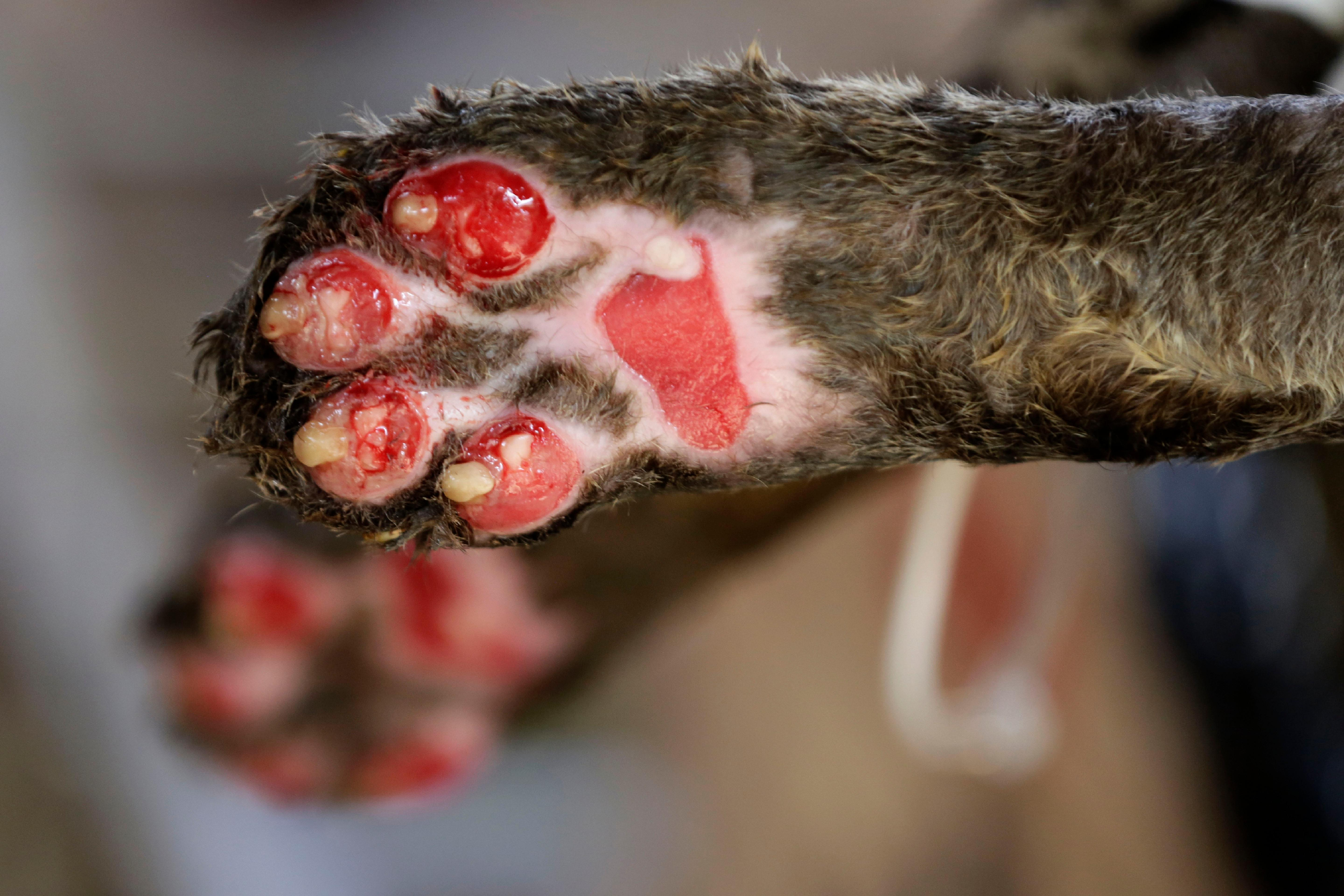 The paws of a Jaguar named Amanaci, who suffered third-degree burns during the fires in the Pantanal region, are shown in detail at the headquarters of Nex Felinos, an NGO aimed at defending endangered wild cats, in the city of Corumba, Goias state, Brazil, Sunday, Sept. 27, 2020. Two Jaguars, a male and a female, were rescued from the great Pantanal fire and are receiving treatment with laser, ozone therapies and cell injections to hasten recovery of burned tissue. (AP Photo/Eraldo Peres)