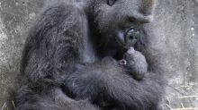 6-day-old endangered gorilla baby dies at New Orleans zoo