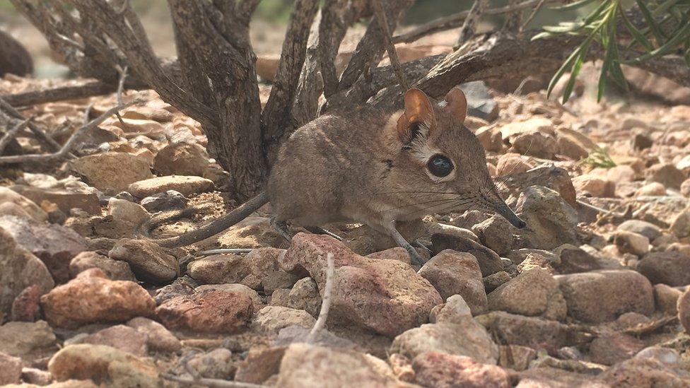 Elephant Shrew Rediscovered in Africa After Being