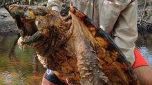 Jurassic Park or Florida? Researchers just captured 3 huge 'alligator snapping turtles'