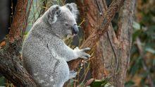Some 2000 koalas feared dead in NSW fires