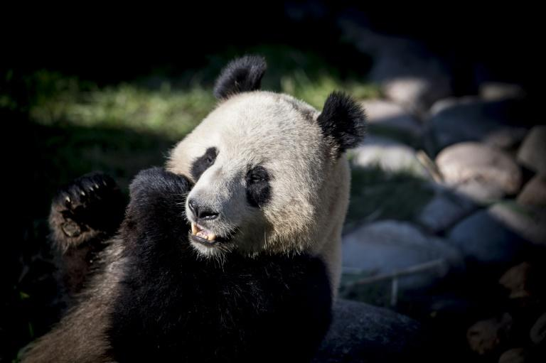 Xing Er broke confinement rules by escaping from his enclosure at Copenhagen zoo on Monday
