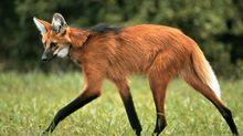 Brasil terá nota de R$ 200 com lobo-guará; saiba detalhes