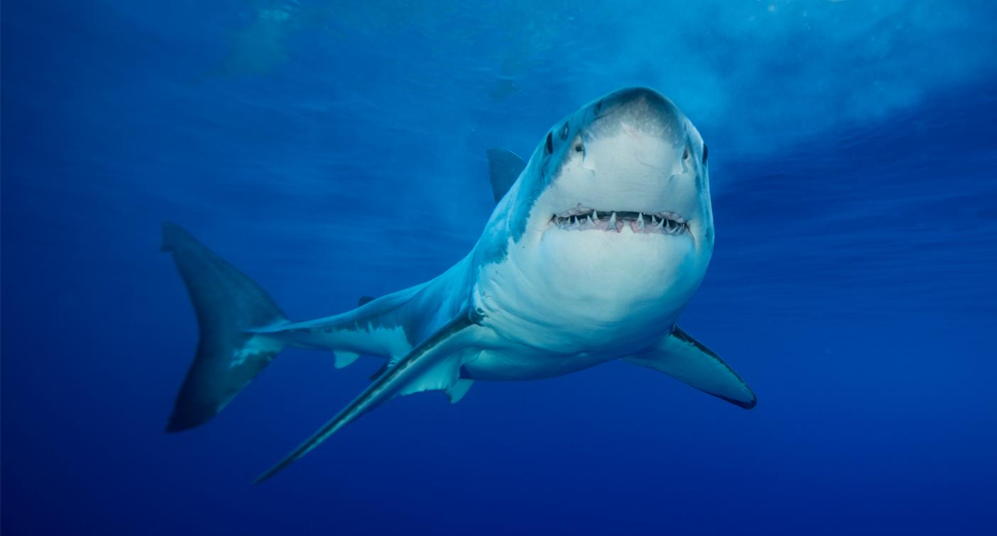 Great white shark found cut into pieces in South Australia